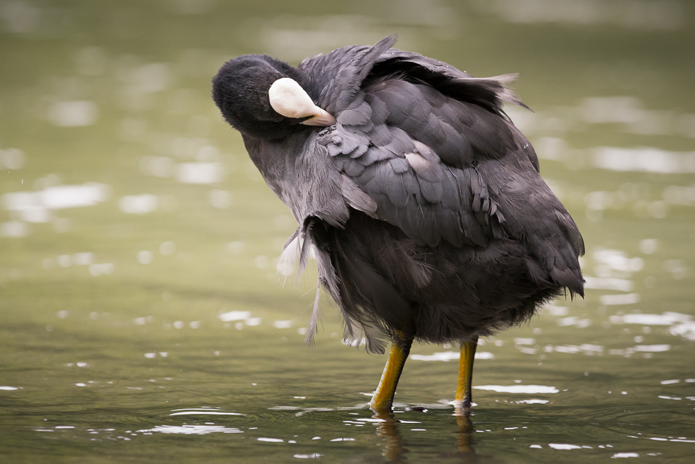 Eurasian Coot (Fulica atra), West Sussex, UK