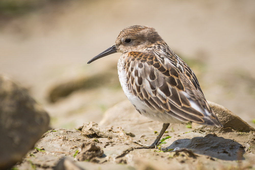 Dunlin (Calidris alpina), East Sussex, UK