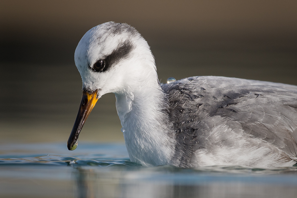 Grey phalarope (Phalaropus fulicarius), East Sussex, UK