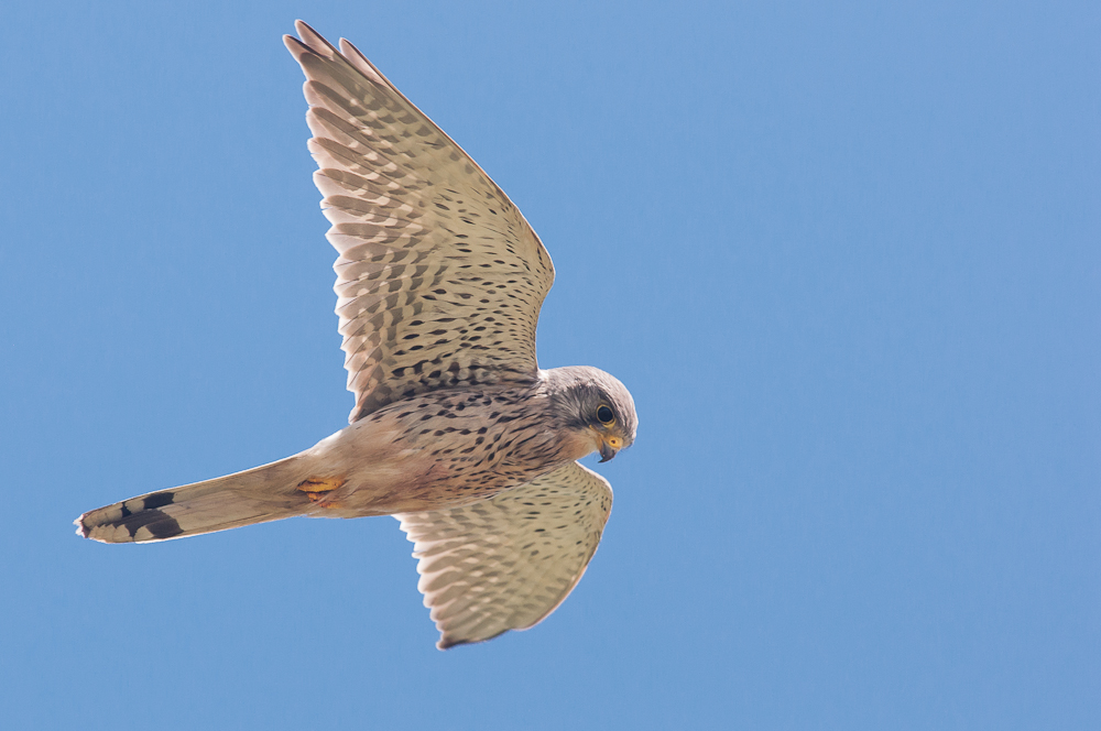 Common Kestrel (Falco tinnunculus), male, East Sussex, UK