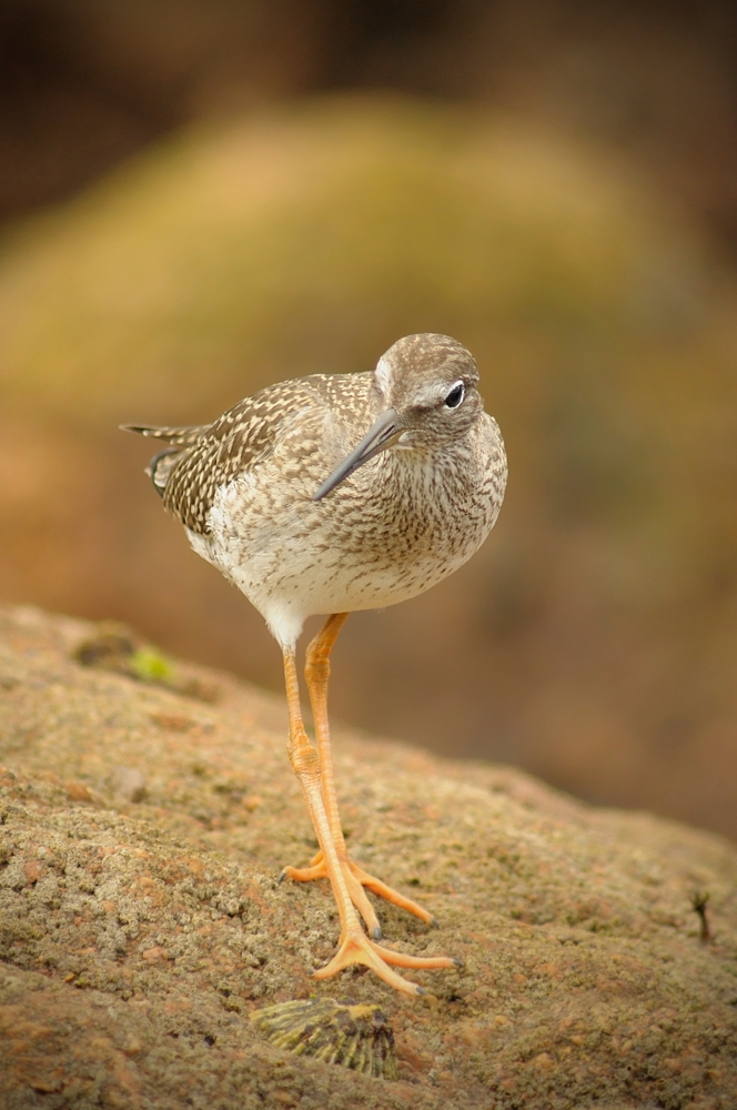 Common Redshank (Tringa totanus), juvenile, Galicia, Spain