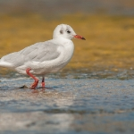 Black-headed Gull (Chroicocephalus ridibundus), winter plumage, West Sussex, UK