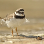 Common Ringed Plover (Charadrius hiaticula), adult, summer, Galicia, Spain