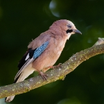 Eurasian Jay (Garrulus glandarius), East Sussex, UK