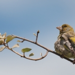 European Greenfinch (Carduelis chloris), male, West Sussex, UK