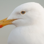 European Herring Gull (Larus argentatus), East Sussex, UK