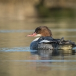 Goosander (Mergus merganser), female, West Sussex, UK