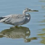 Grey Heron (Ardea cinerea), juvenile, Galicia, Spain