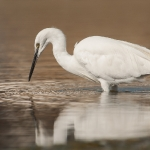 Little Egret (Egretta garzetta), West Sussex, UK