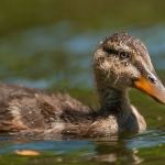 Mallard (Anas platyrhynchos), duckling, East Sussex, UK