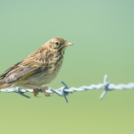 Meadow Pipit (Anthus pratensis), East Sussex, UK