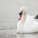 Mute Swan (Cygnus olor), East Sussex, UK
