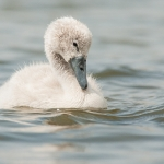 Mute Swan (Cygnus olor), cygnet, West Sussex, UK