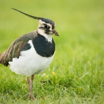 Northern Lapwing (Vanellus vanellus), West Sussex, UK