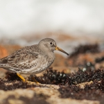 Purple Sandpiper (Calidris maritima), adult, winter, Galicia, Spain