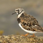 Ruddy Turnstone (Arenaria interpres), adult, summer, Galicia, Spain