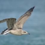 Yellow-legged Gull in flight (Larus michahellis), 1st winter, Galicia, Spain