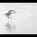 Egret's hunting dance