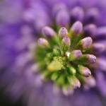 Hebe in bloom